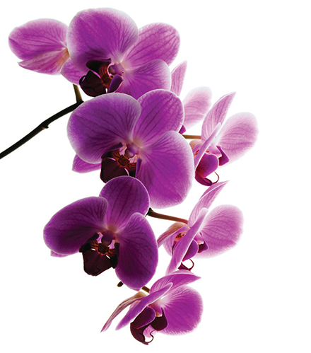 Orchid emoticon
