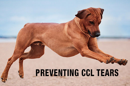 CCL Tears, Cranial Cruciate Ligament Tears, ACL Tears in Dogs