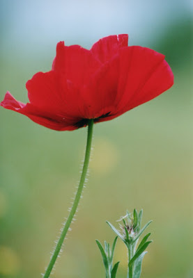 red poppy flowers picture lowres