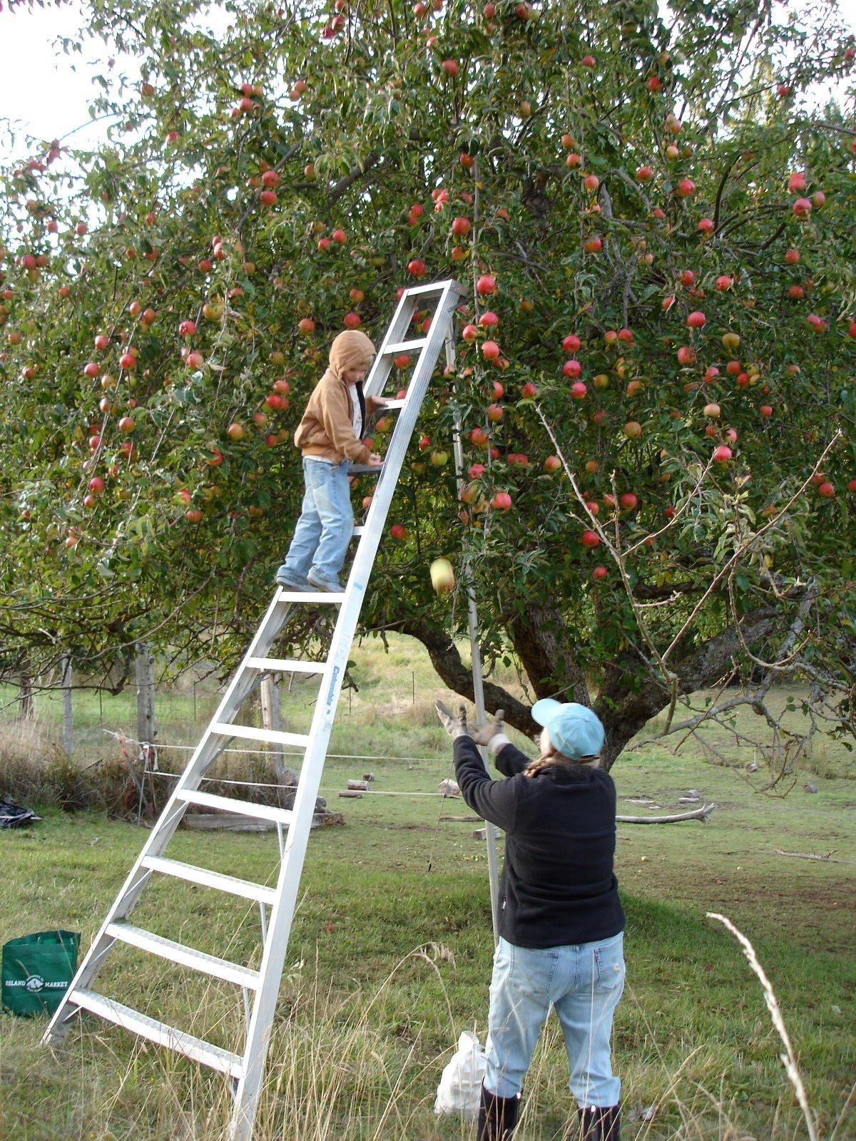 klasik elma ağacı