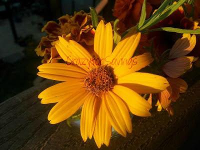 wm Heliopsis Loraine Sunshine