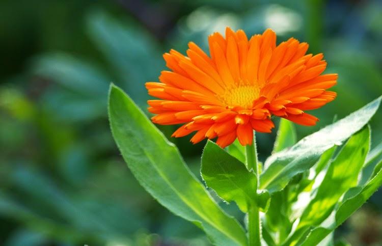 Orange morgenfrue giver haven og salatskålen farve