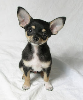 Chihuahua Puppy Picture