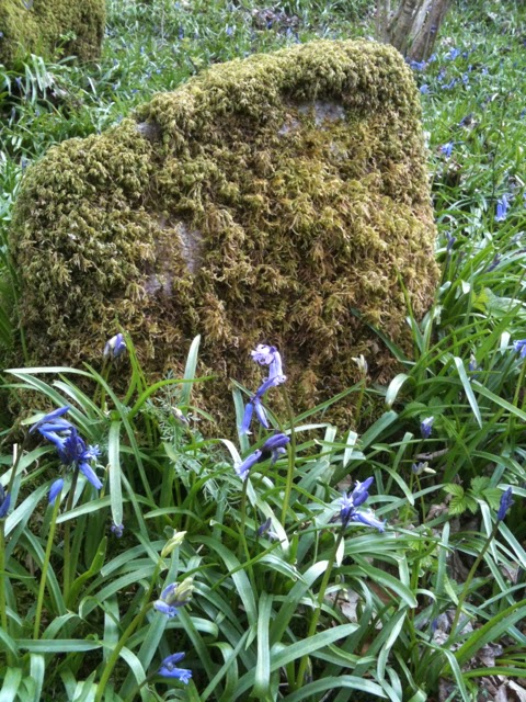 Bluebells starting to flower