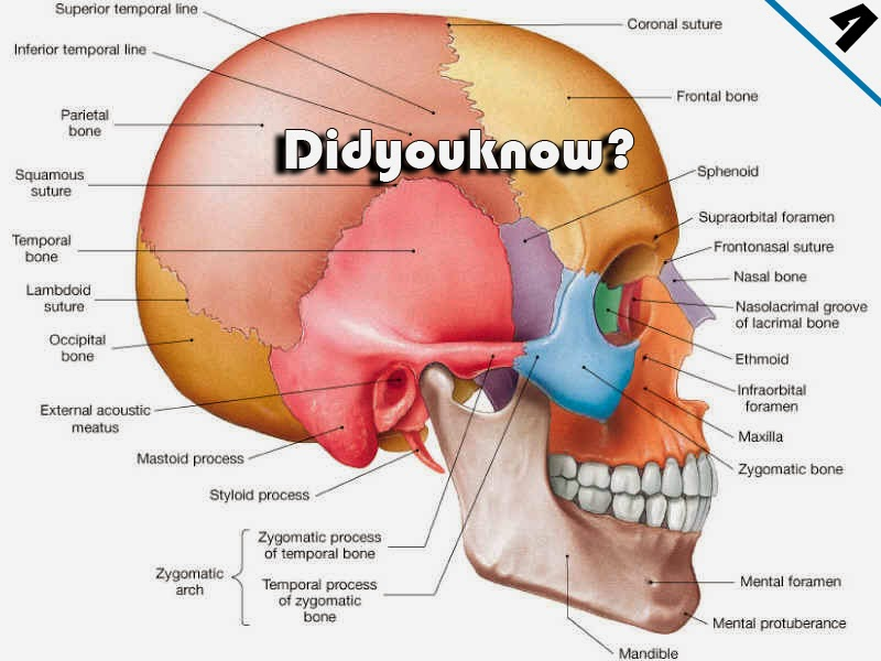 Did You Know Your Head Contains 22 Bones Philippines Viral News