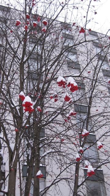 pihlaja talvella