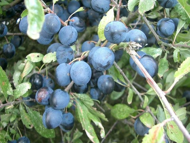 Sloes in hedgerow