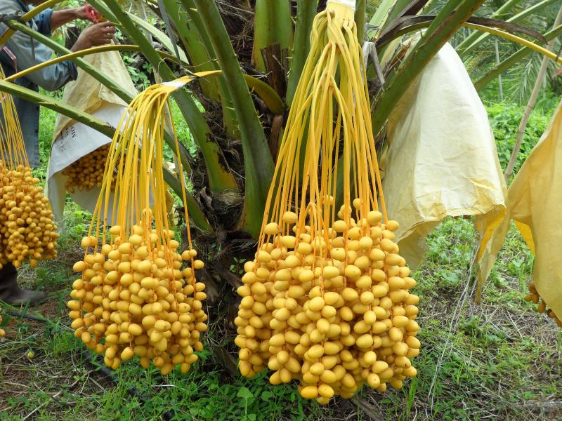 Plamfruit-9.png