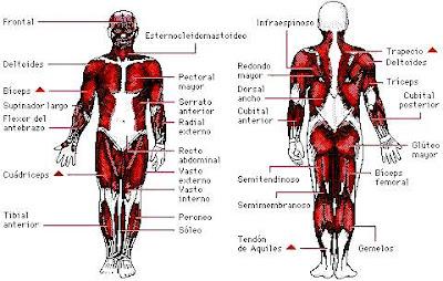 Ilustración del Sistema Muscular y sus partes (Vista delantera y trasera)
