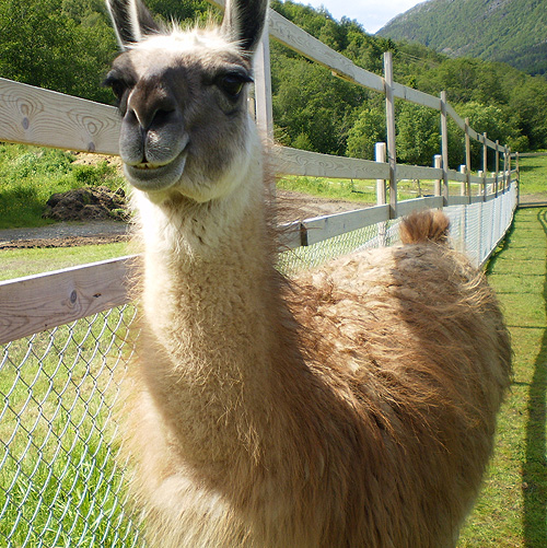 Very Sweet And Cute Animals: Funny Llama