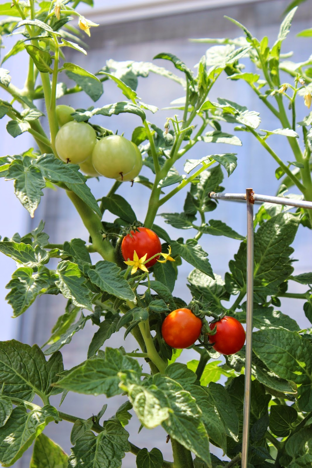 Picture of two green cherry tomatoes and three red cherry tomatoes on a tomato plant