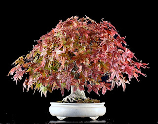 Jardineria, Catalogo de Plantas: Acer palmatum