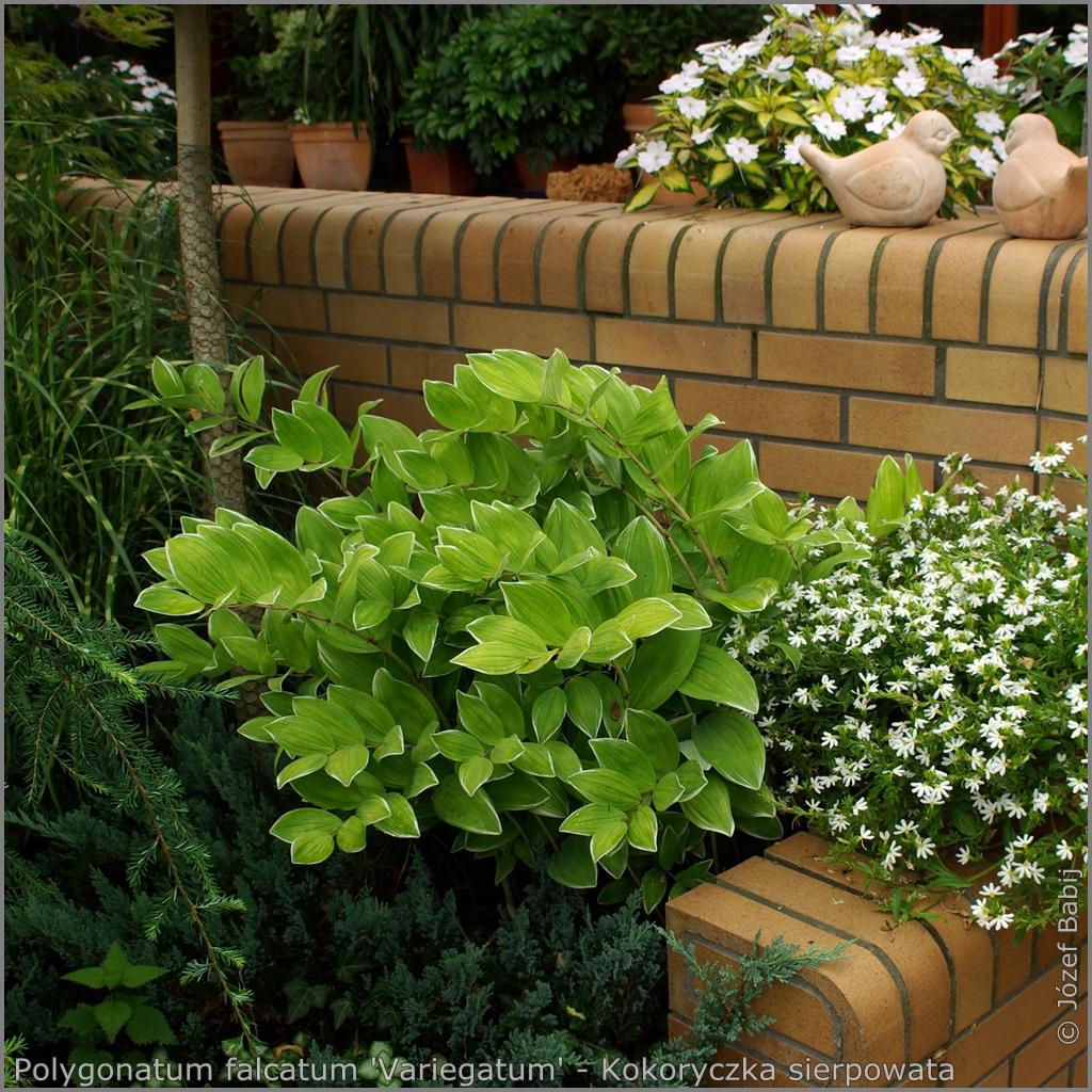 Polygonatum falcatum 'Variegatum' - Kokoryczka sierpowata 'Variegatum'