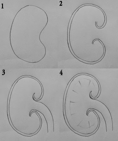 Draw it neat how to draw ls of kidney how to draw ls of kidney ccuart Images