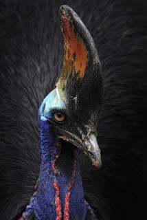 World's deadliest bird, World's dangerous bird, Cassowary picture, Australia Cassowary photo, Most dangerous birds in the world, World's dangerous bird 2011, World's dangerous bird Guinness world record