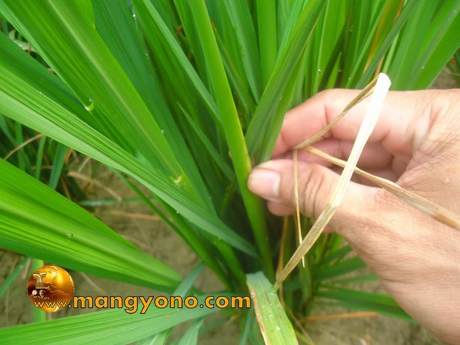 Cara memperbanyak anakan tanaman padi