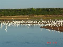 Garças brancas em lagoa na caatinga