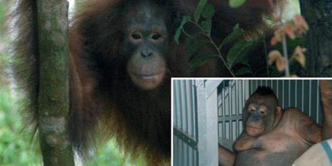 Orangutan Yang Dijadikan Pelacur