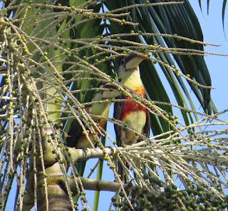 Curl-crested Aracari