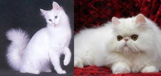 perbedaan harga kucing anggora dan persia,kucing anggora dan persia medium,beda kucing anggora dan persia,makanan kucing anggora,ciri ciri kucing anggora,jenis kucing anggora,
