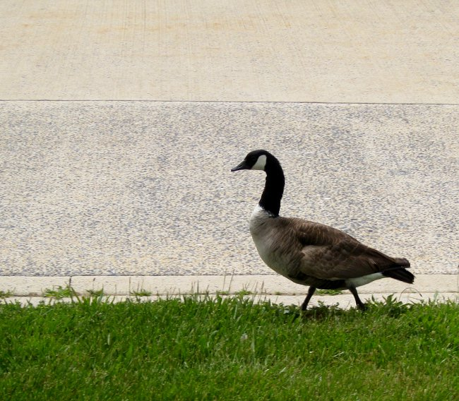 "Image ""GOOSESTEP.JPG"" ©2013 K. R. Smith - www.theworldofkrsmith.com - may be used with attribution"