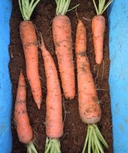 Semear cenouras