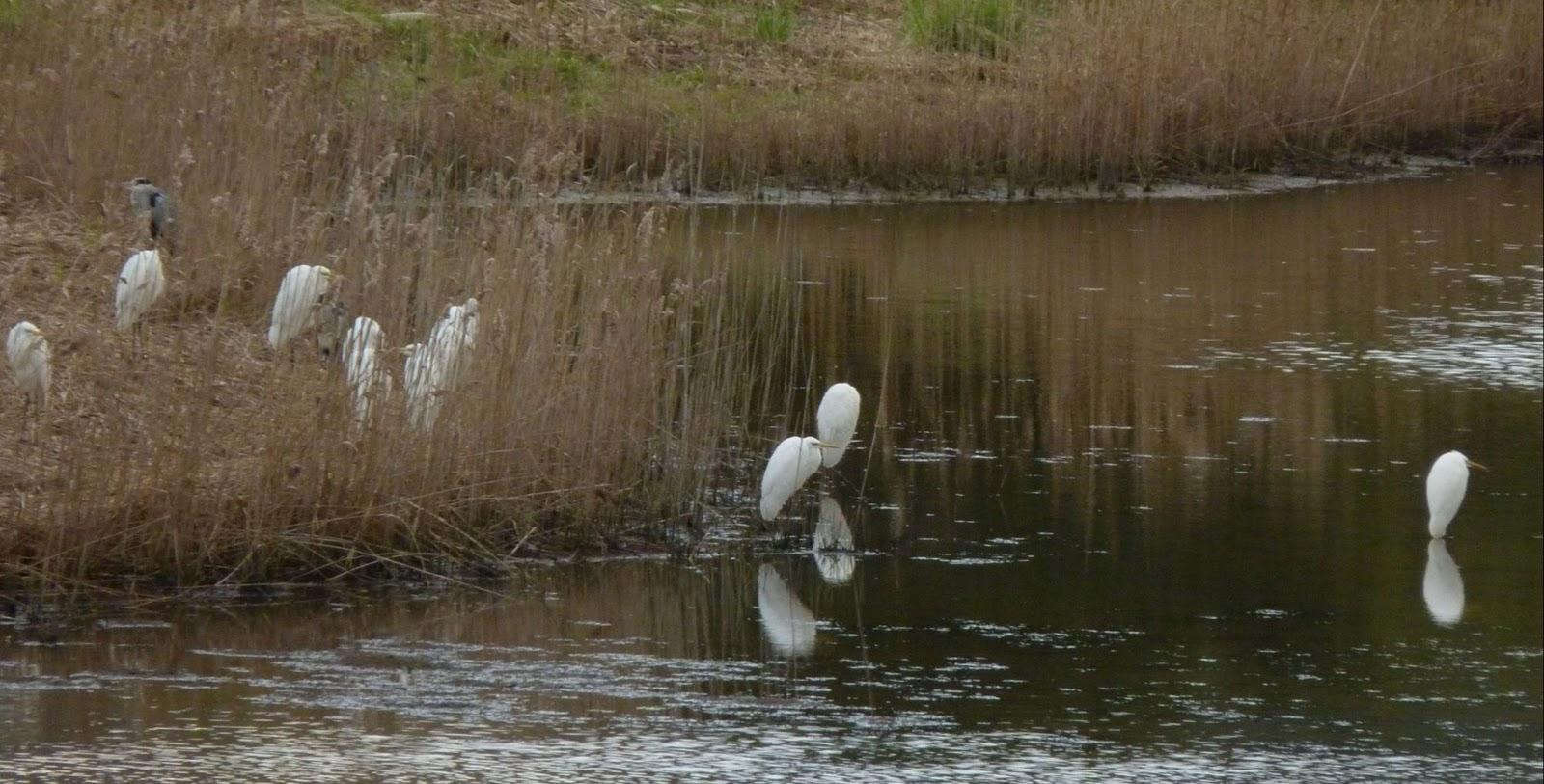 Garcetas grandes en la laguna de San Lorenzo. Autor Itsas Enara O.E.