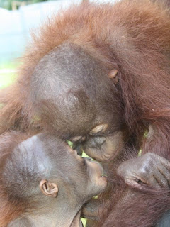 Orangutans Gunung and Rayayu