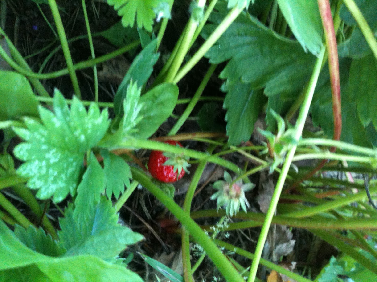 Several gardens farm a short story about strawberries - Plant strawberries spring ...