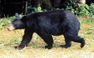 ursidae oso negro americano Ursus americanus