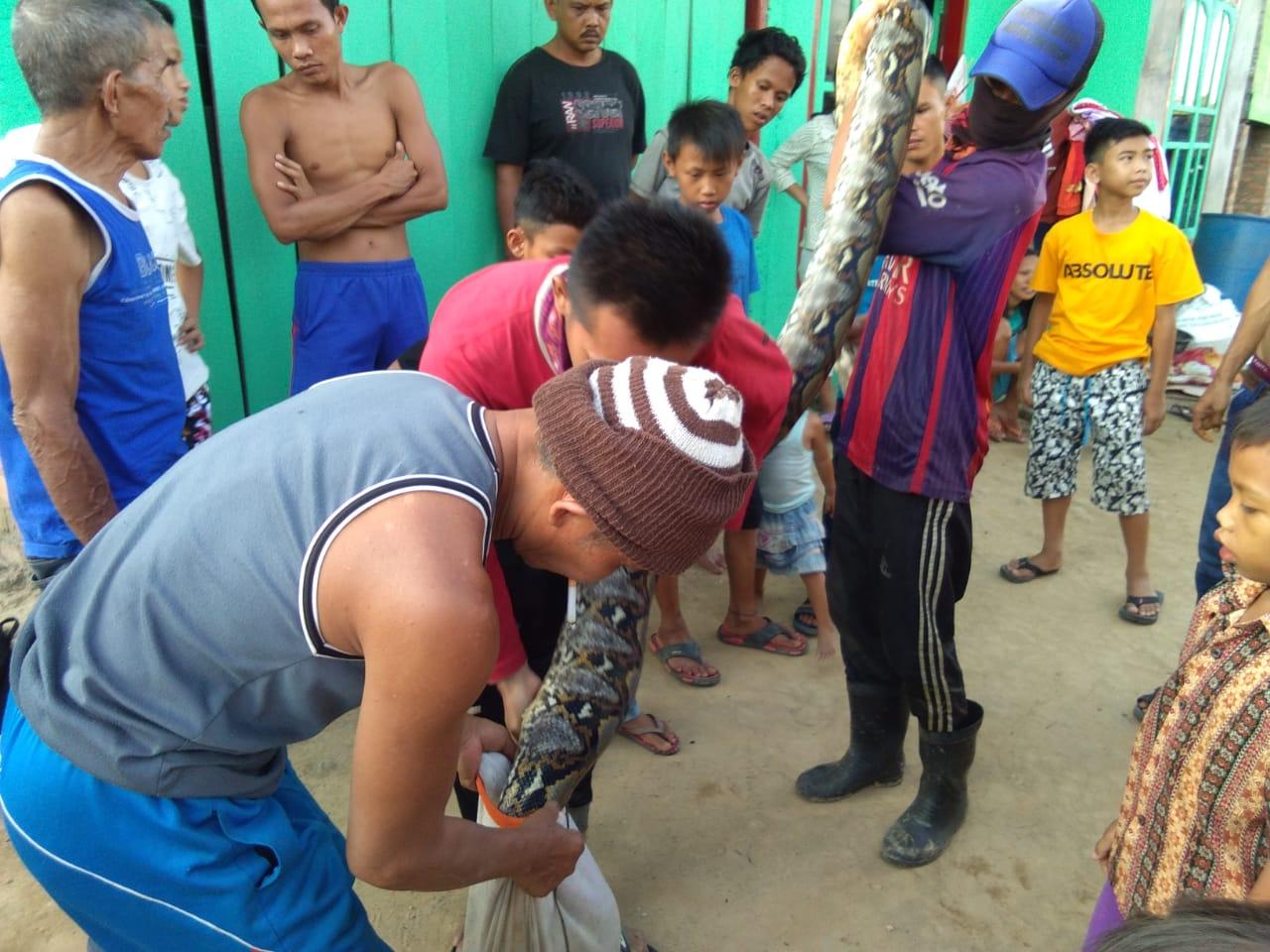 Ular Piton Raksasa Panjang 8 Meter Ditangkap Warga Desa Simpang Tais