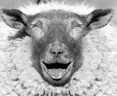 Call it a miracle, but a Welsh sheep was knocked by a light aircraft and survived