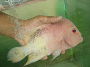 breeding flowerhorn. Email ThisBlogThis!Share to TwitterShare to