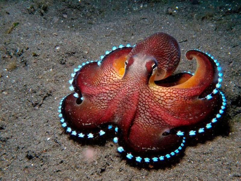 Восьминіг octōpoda