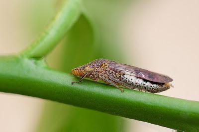 Glassy-winged sharpshooter Homalodisca vitripennis (Hemiptera: Cicadellidae)