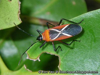 Thespesia Firebug (Dysdercus simon)