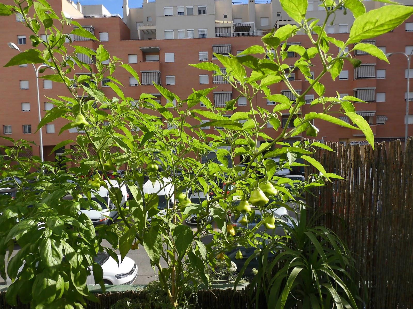 Pimientos campanita un huerto en el patio for Cultivo pimiento huerto urbano