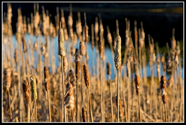 Nova Scotia; Cattails, Grass