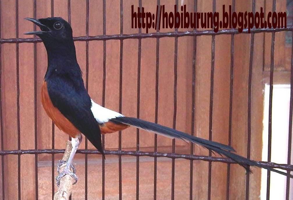 Perawatan dan Setelan Burung Murai Batu Mabung
