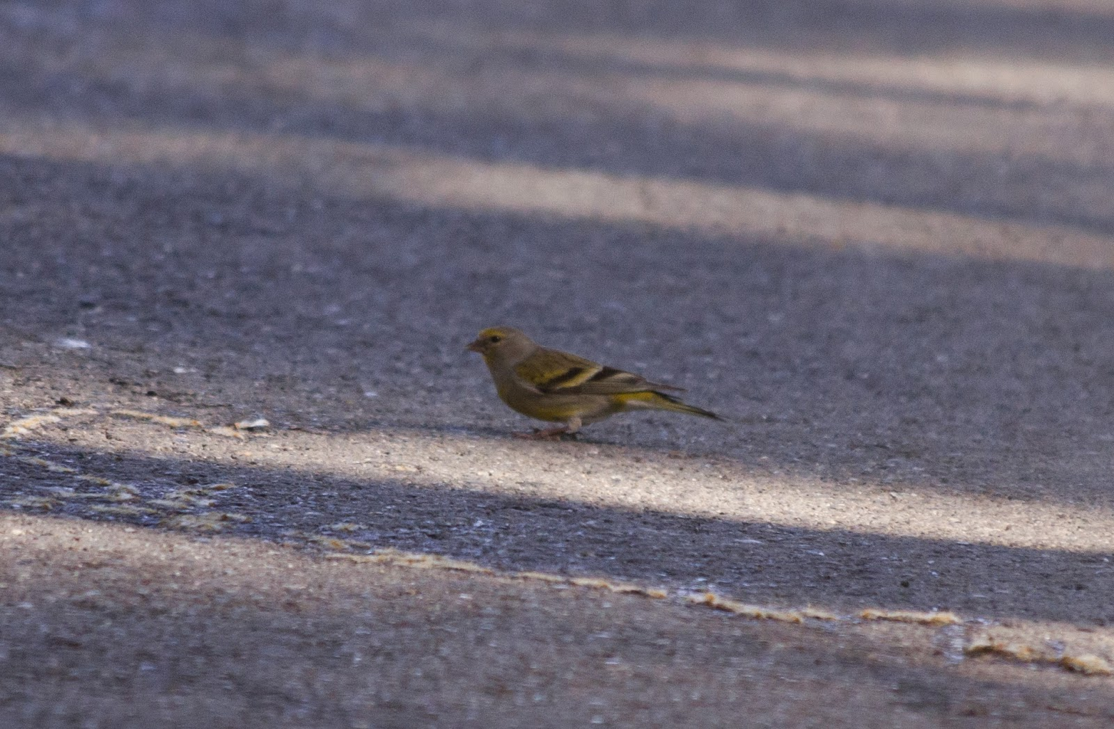 Citril Finch - Northern Spain
