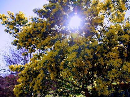 Mimosa florida de la Rovira. Autor: Carlos Albacete
