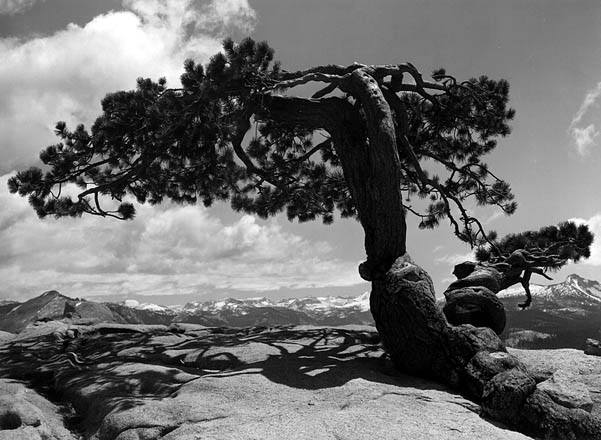 ansel adams pine tree - photo #3
