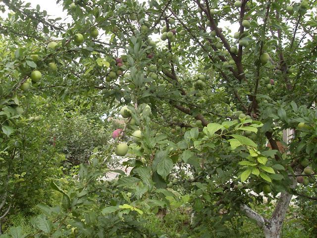 Крым-2015 яблоня