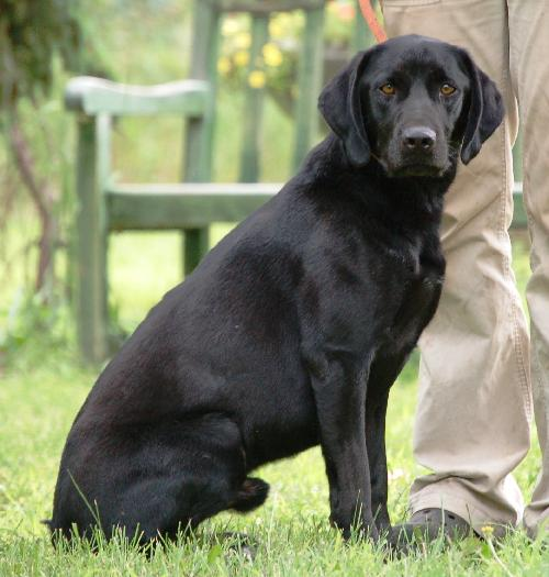 ... pointer pictures german shorthaired pointer and labrador mix