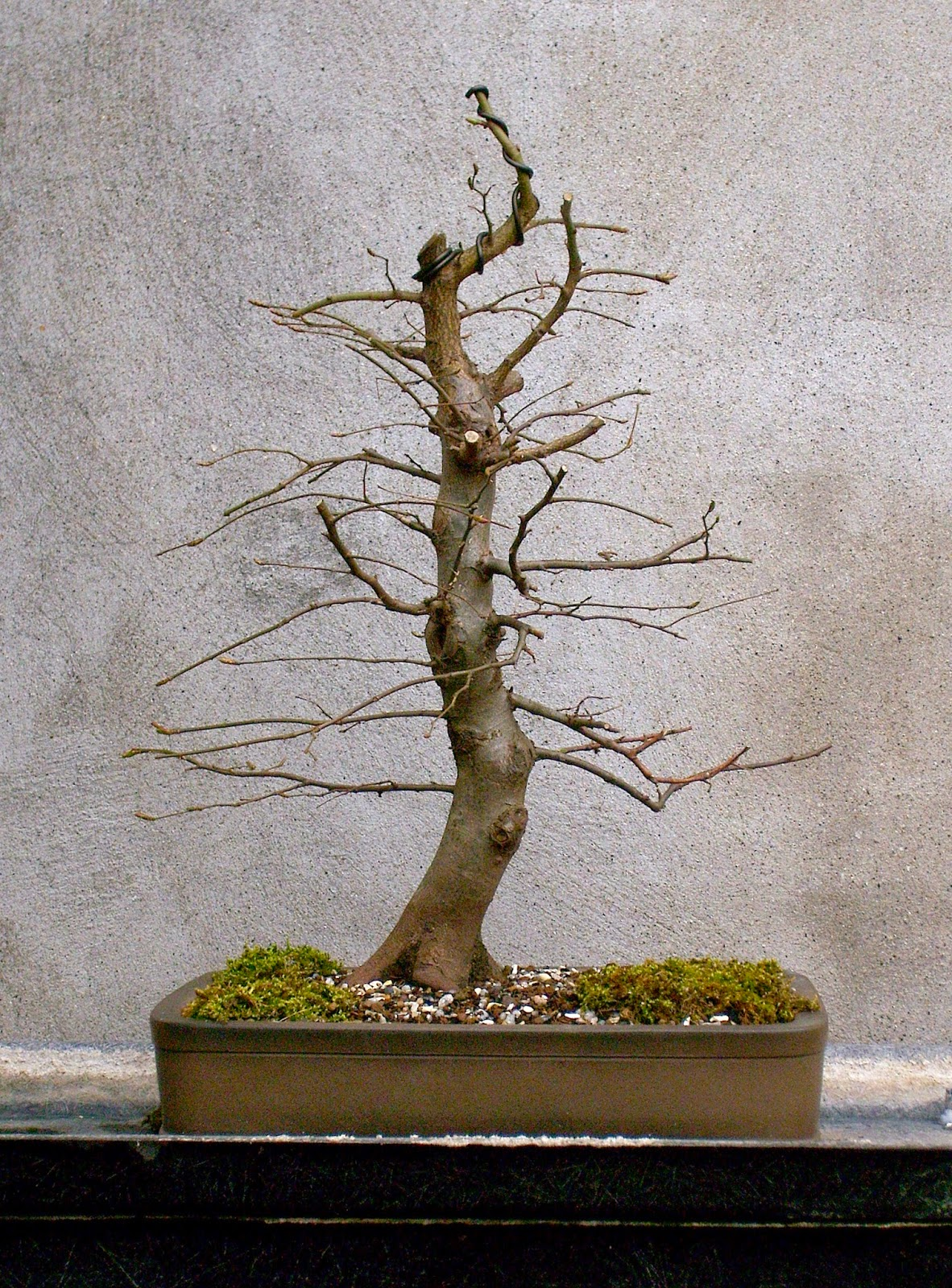 Silva Naturalis Hornbeam Bonsai 6 Years Of Development