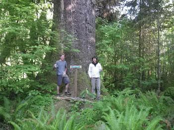 Artic's Largest Spruce