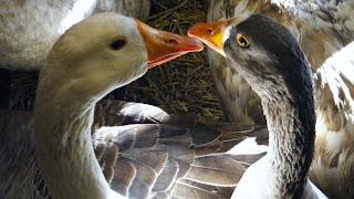 Aves: gansos
