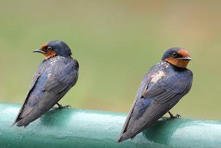 Gambar Burung Layang Batu
