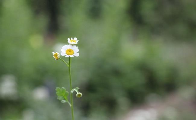 Feverfew Flowers