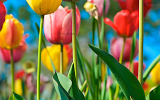 Colorful+Tulips+on+the+Field+with+Blue+Sky, Flower images; Beautiful Fresh leaves; Roses; wallpapers; fresh flowers; Beautiful flowers; Wide screen wallpapers